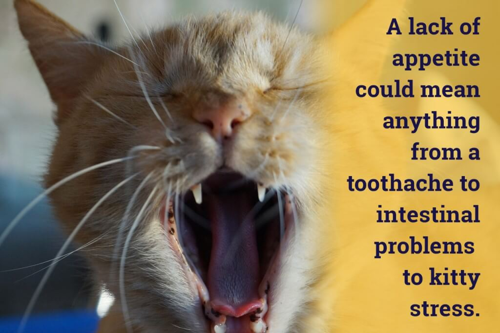 A lack of appetite could mean anything from a toothache to intestinal problems to kitty stress
