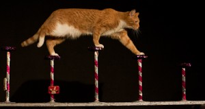 An image from the Acro-cats show.