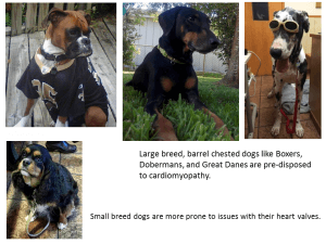 Breeds with heart disease.