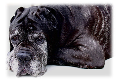 Older Dog with Graying Hair