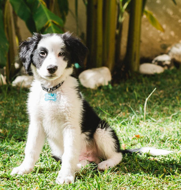 Border collie puppy in a yard