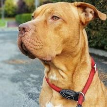 American Pitbull Terrier Dog Breed Info