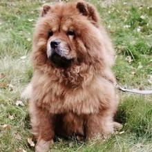 Chow Chow Dog Breed Info
