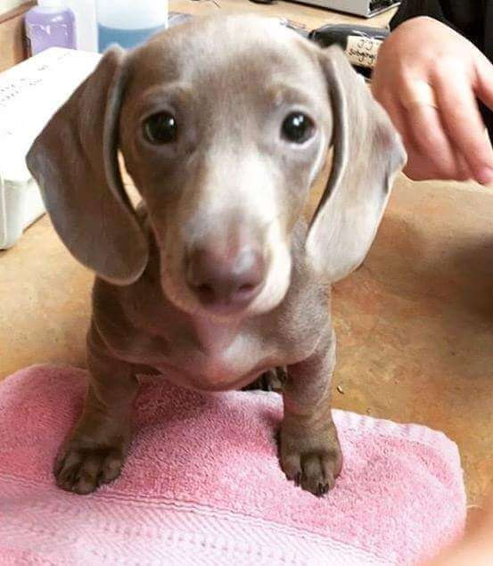Bordetella vaccine is especially important for little puppies like Tesla!